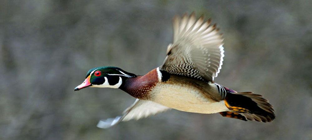 duck-flying