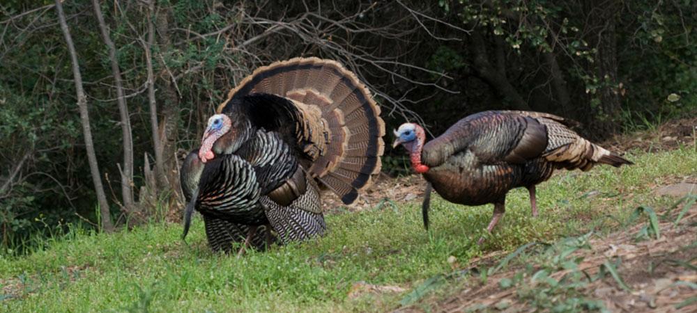 turkeys-in-field